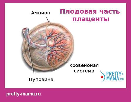 плодовая часть плаценты