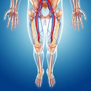 Циркуляция крови проходит по кровеносной системе, которая несет кровь по организму и возвращает его к сердцу, а также насыщая кислородом в лёгких