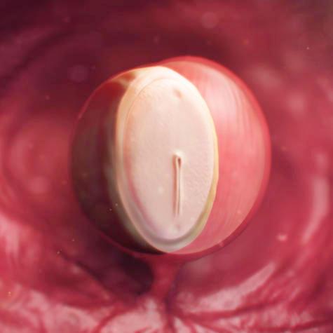 Эмбрион на 4 неделе
